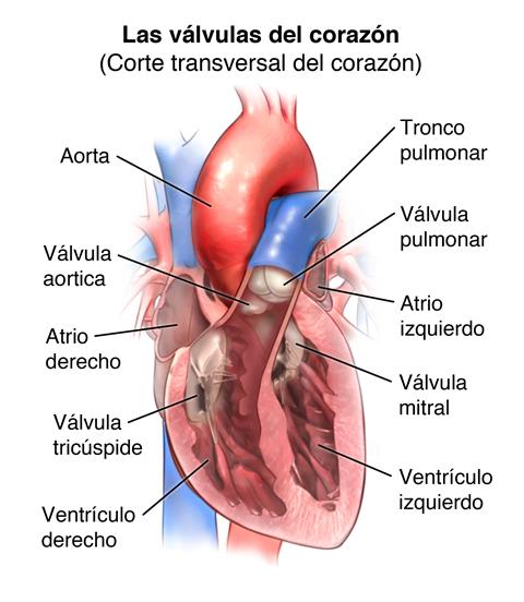 Anatomía y la Función de las Válvulas Cardíacas