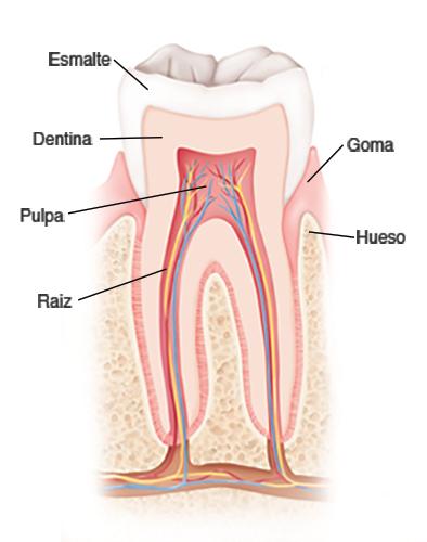 Anatomía y Desarrollo de la Boca y los Dientes