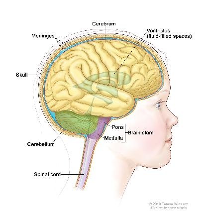 Drawing of brain anatomy showing the brain stem, pons, medulla, spinal cord, cerebellum, cerebrum, meninges, ventricles (fluid-filled spaces), and skull.