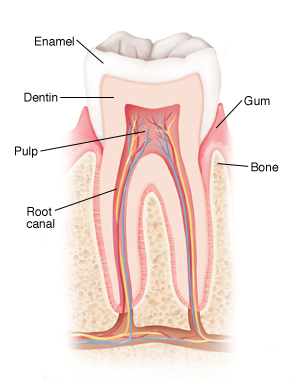 Anatomy and Development of the Mouth and Teeth