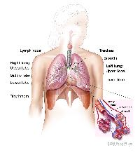 Respiratory anatomy; drawing shows right lung with upper, middle, and lower lobes; left lung with upper and lower lobes; and the trachea, bronchi, lymph nodes, and diaphragm. Inset shows bronchioles, alveoli, artery, and vein.